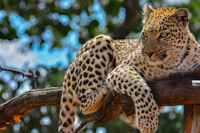木の上で休むヒョウ