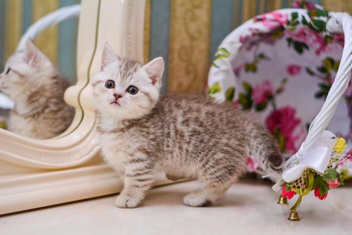 グレーのマンチカンの子猫
