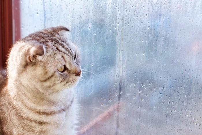 窓の外の雨を見つめる猫