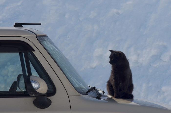 ボンネットに座る猫