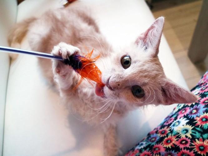 おもちゃで遊ぶラパーマ