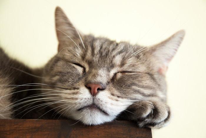 眠っているヨーロピアンショートヘアの顔
