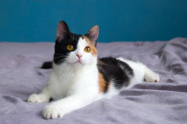 ベッドの上の三毛猫