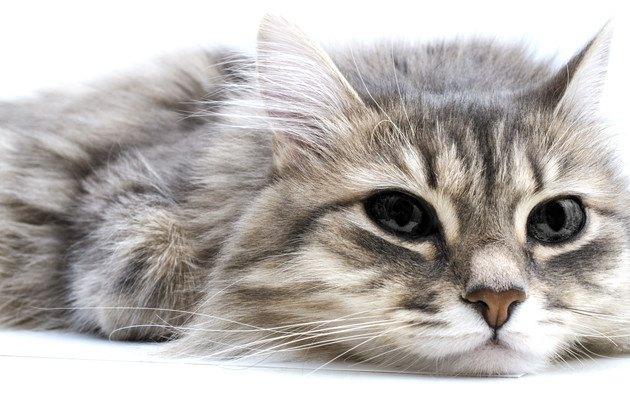 食欲不振で嘔吐した寝そべっている猫