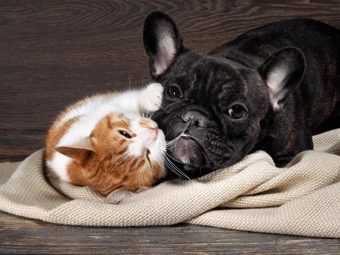 ブランケットの上でじゃれ合う犬と猫