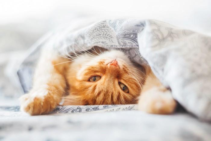 布団の中で仰向けに寝転ぶ猫
