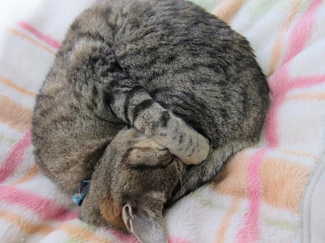 毛布の上で丸まって眠る猫