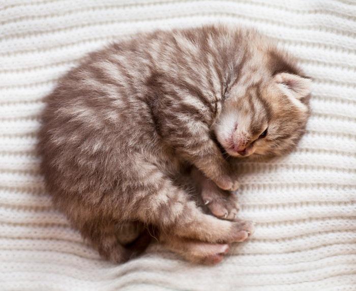 寝ている仔猫