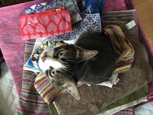 猫のあるある行動:タオル好き
