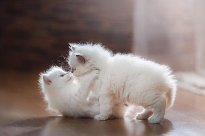 二匹のラグドールの子猫