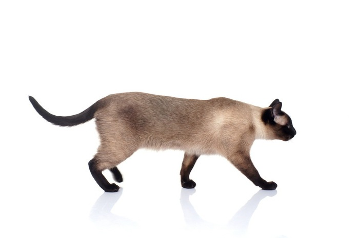 歩いているシャム猫