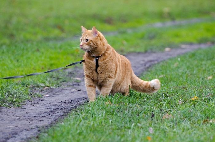 首輪を繋がれ散歩している猫