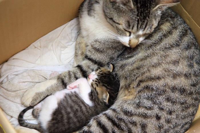 段ボールの中の母猫と子猫