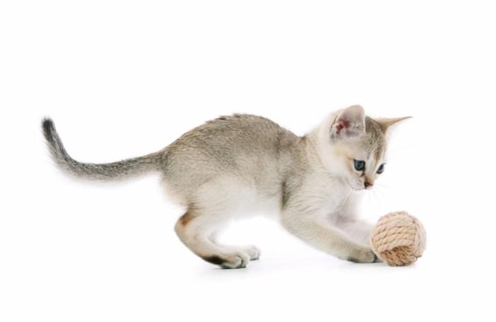 毛糸で遊ぶシンガプーラの子猫