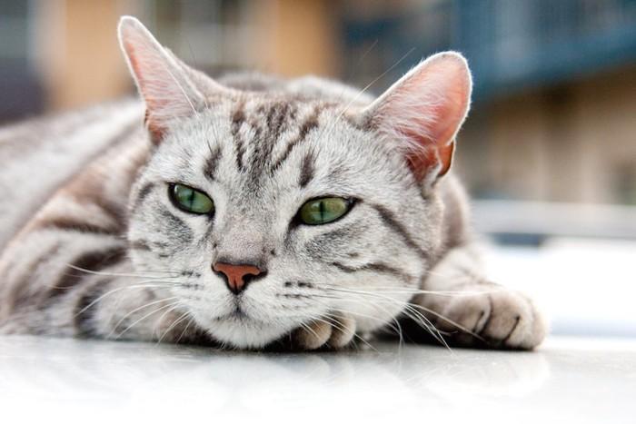 視線をずらしてくつろぐ猫