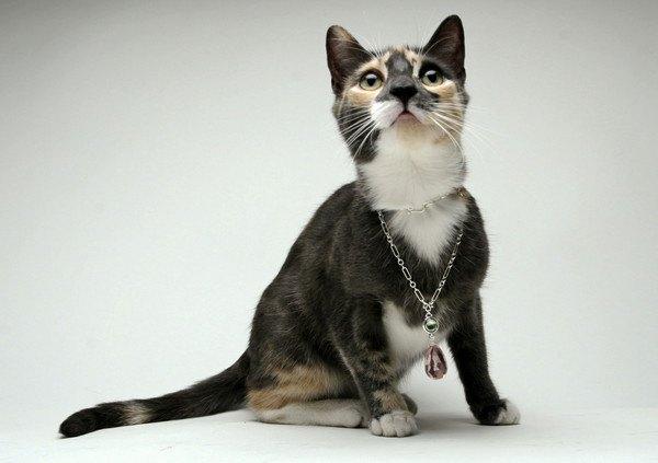 ネックレスを付けた三毛猫