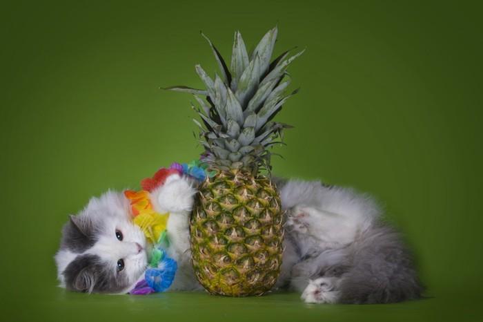 パイナップルと寝転ぶ猫