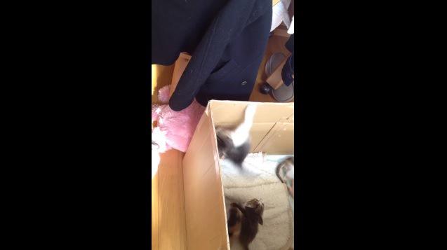 箱の中へ落ちる子猫