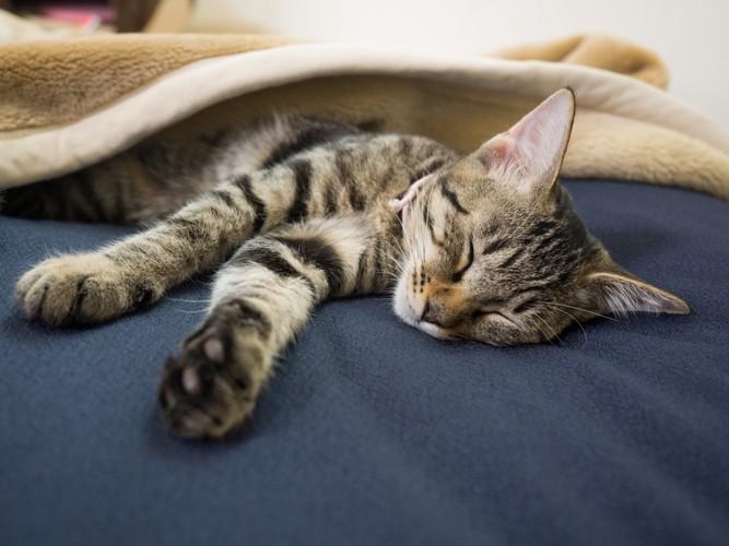 ベッドの上で毛布をかぶって眠るキジトラ