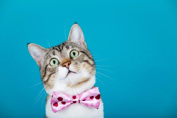 青い背景でリボンがついた猫