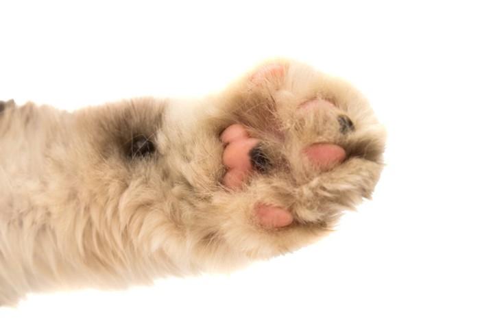 ふわふわな毛が生えた猫のクリームパンのような手の肉球