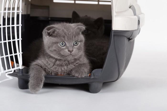 キャリーケースに入ったグレーの子猫
