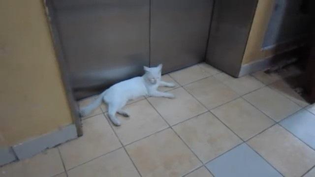 エレベーターを待つ猫