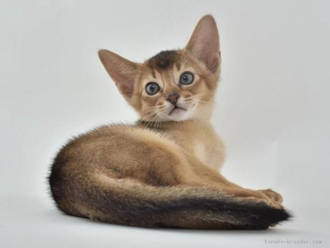 子猫のアビシニアンルディ2