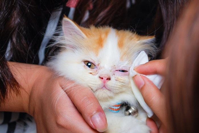 目を拭いてもらう猫