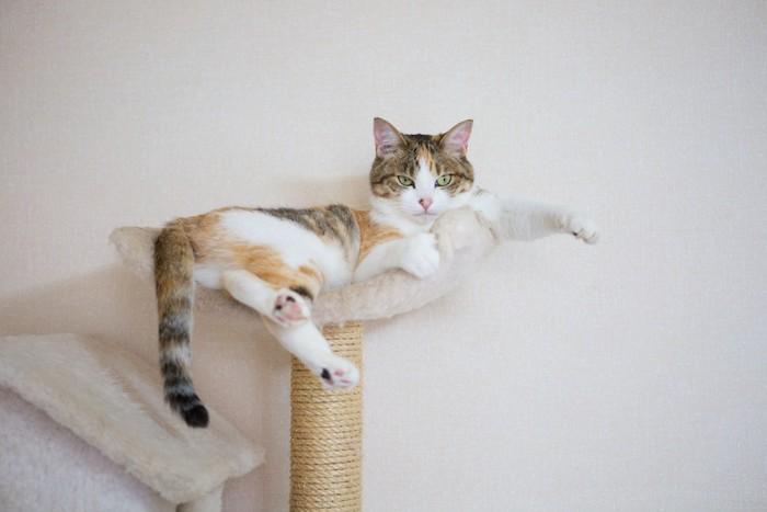 キャットタワーでくつろぐ三毛猫