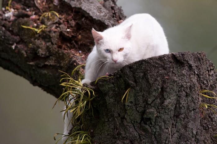 木に登るオッドアイの猫