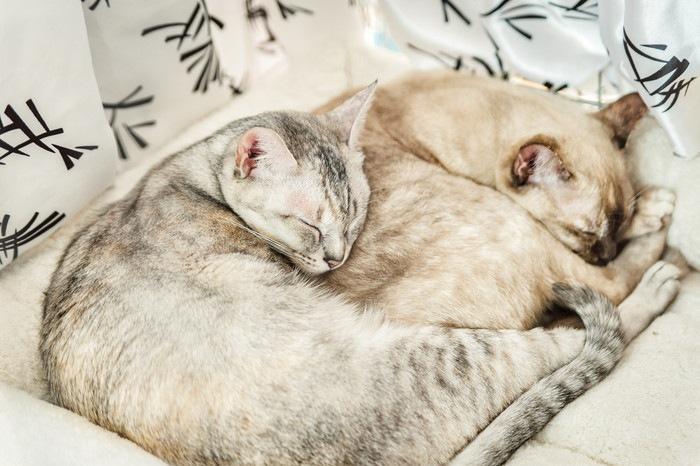 2匹の寝ているピクシーボブ