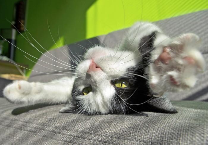 仰向けでバンザイする子猫