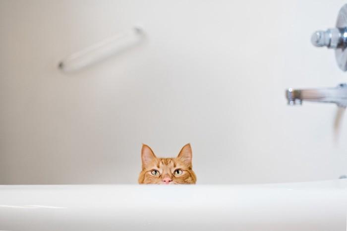 浴槽で遊ぶ猫