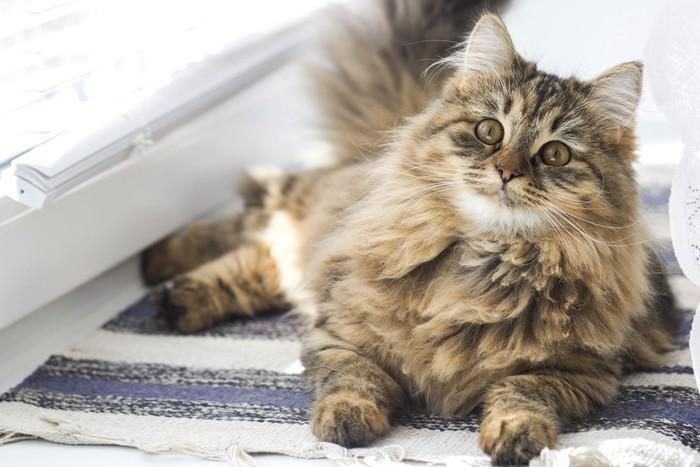 長毛のサビ猫