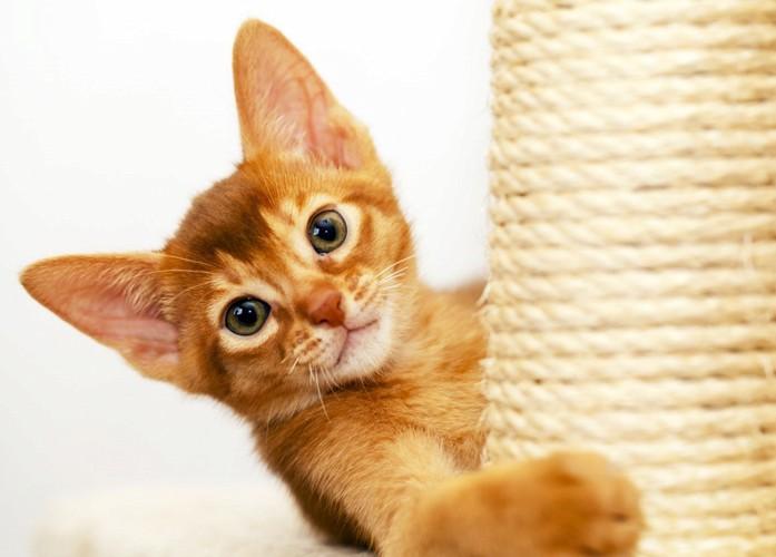 アビシニアン子猫