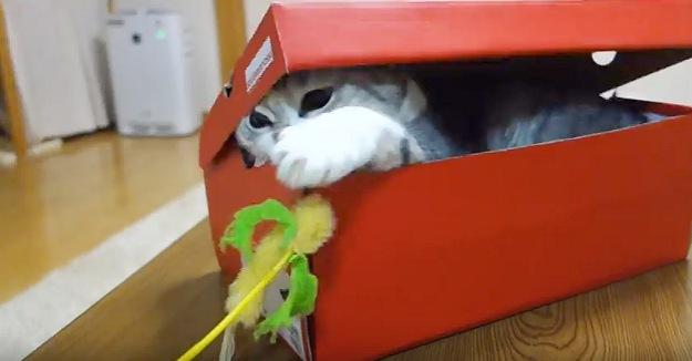 ねこじゃらしに足を伸ばす猫