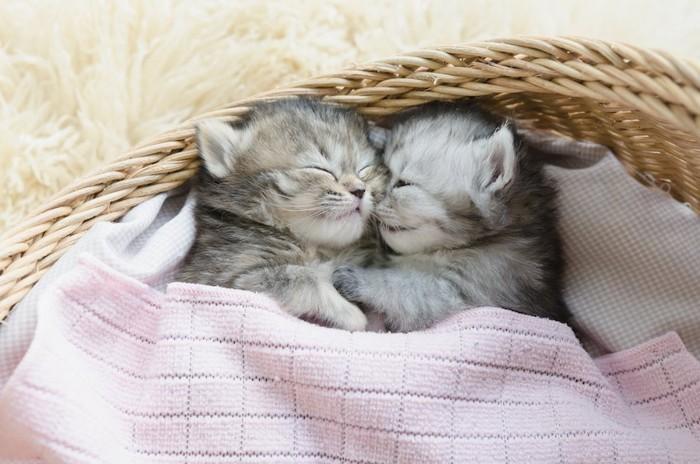 バスケットの中でくっついて眠る二匹の子猫