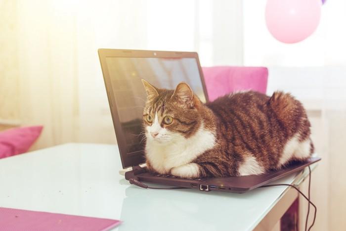 パソコンの上で箱座りする猫