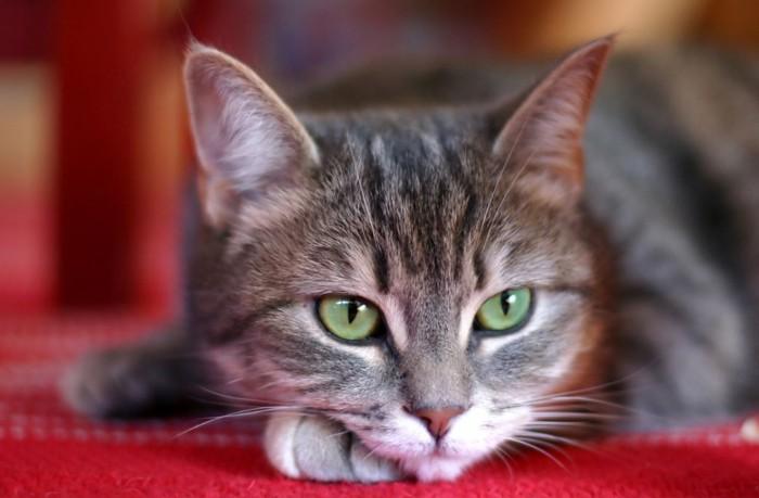 顎を手に置いてくつろぐ猫