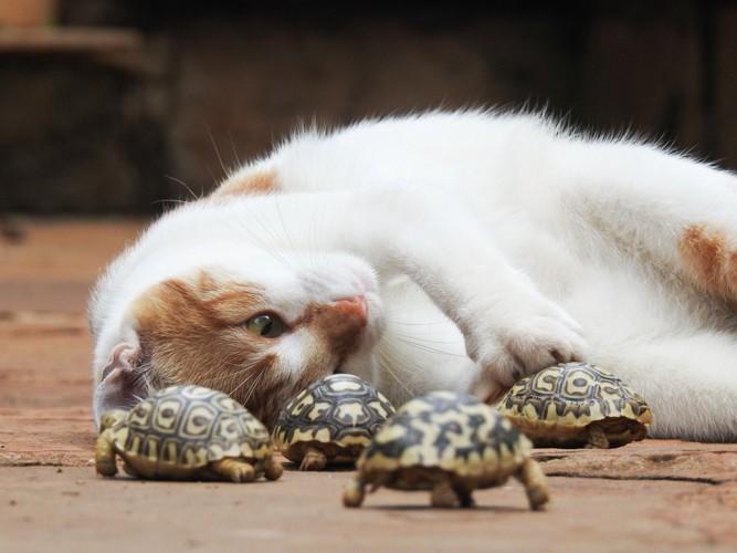 亀を触る猫