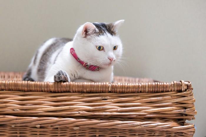 バスケットに座る猫