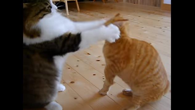 顔を両手で挟まれる猫