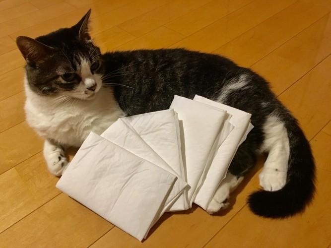 ペットシーツと猫