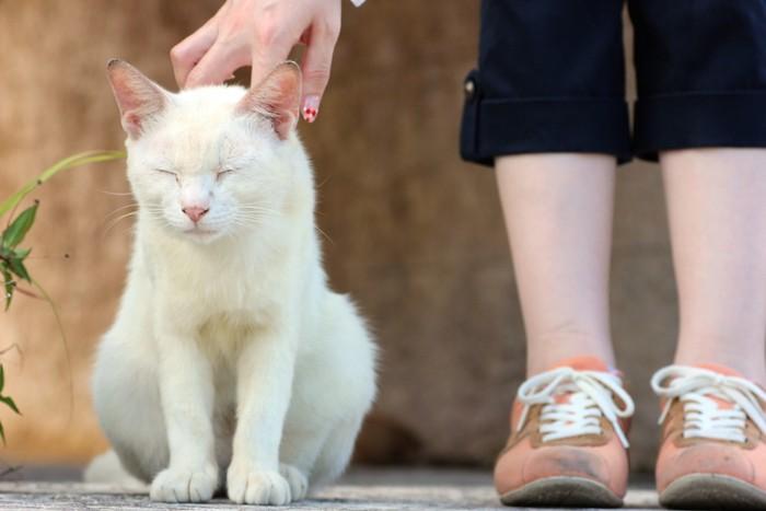 撫でられて嬉しそうな白い野良猫