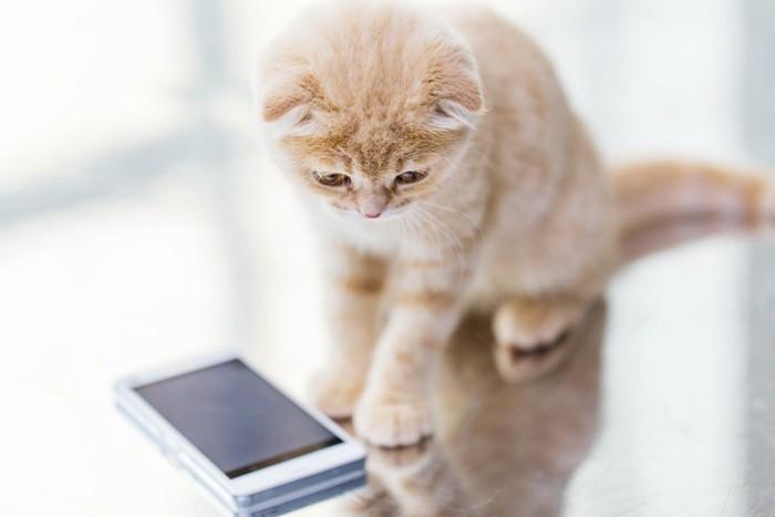 携帯をみている猫