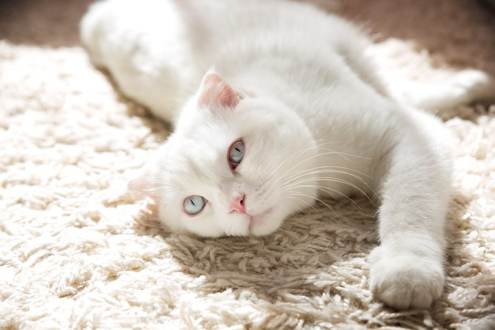 カーペットの上で気持ちよさそうな白猫