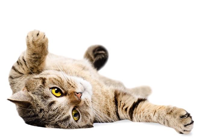 ゴロンと転がる猫