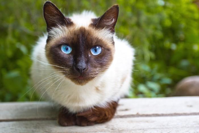 こちらを見つめるブルーの瞳の猫