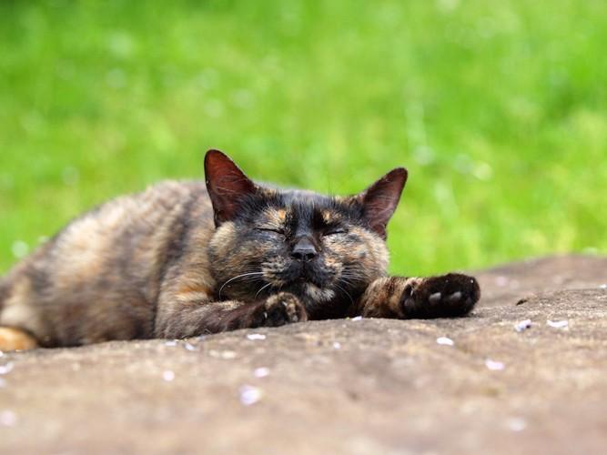 道に寝そべるサビ猫